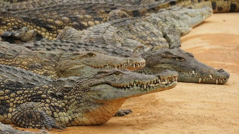 Descubre si es cierto que los cocodrilos comen piedras