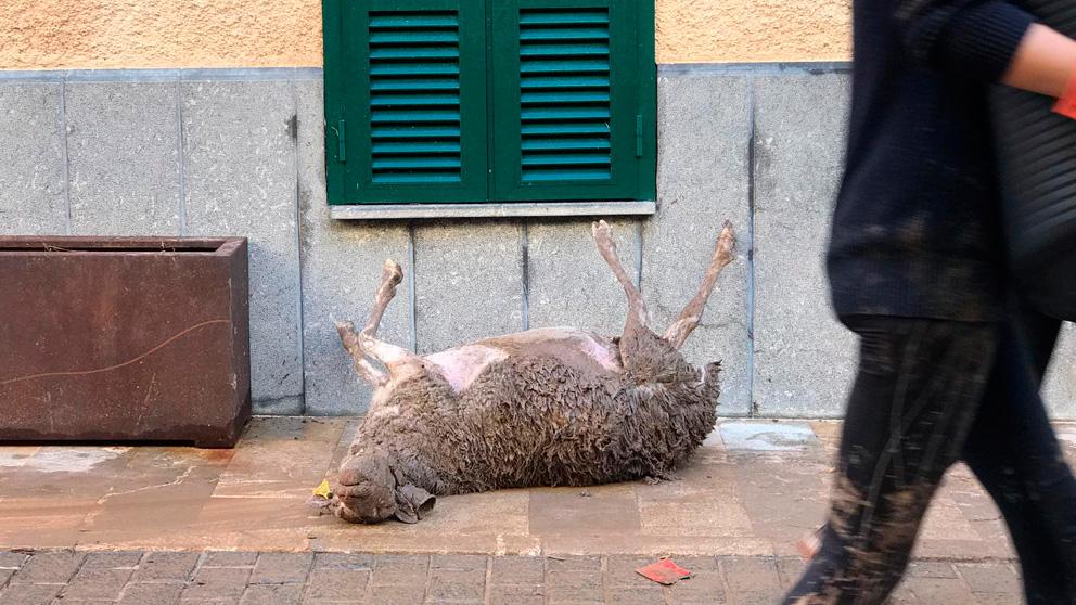 Una oveja fallecida en la calle a raíz de las inundaciones en Mallorca.