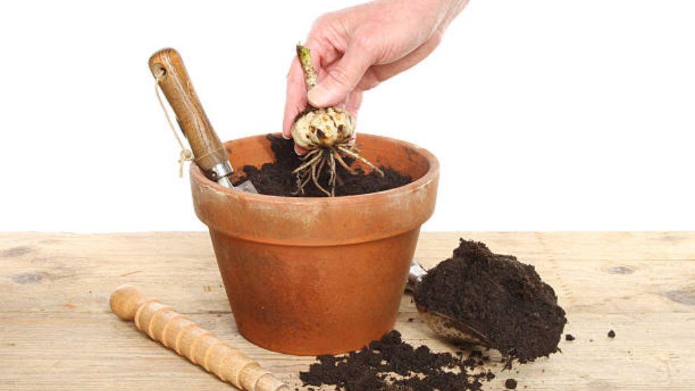 Aprende cómo plantar bulbos en macetas