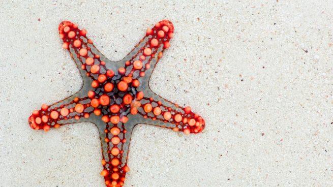 La estrella de mar se reproduce asexualmente o sexualmente