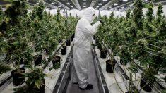 Un trabajador controla el crecimiento de las plantas de marihuana que se usarán para fines medicinales en Canadá. Foto: AFP