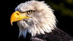 Las águilas calvas, un ave de lo más especial.