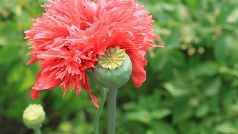 Los primeros efectos del opio pueden durar hasta 12 horas