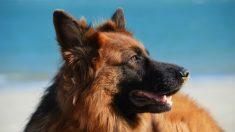 El perro pastor alemán, de los perros más inteligentes.