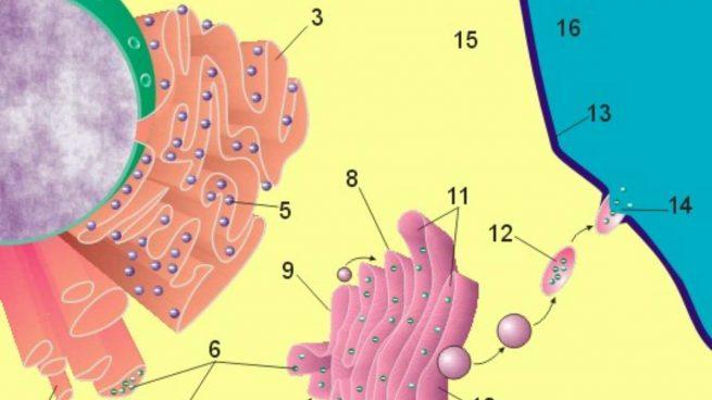 Aparato de Golgi: qué es, cuál es su función y estructura