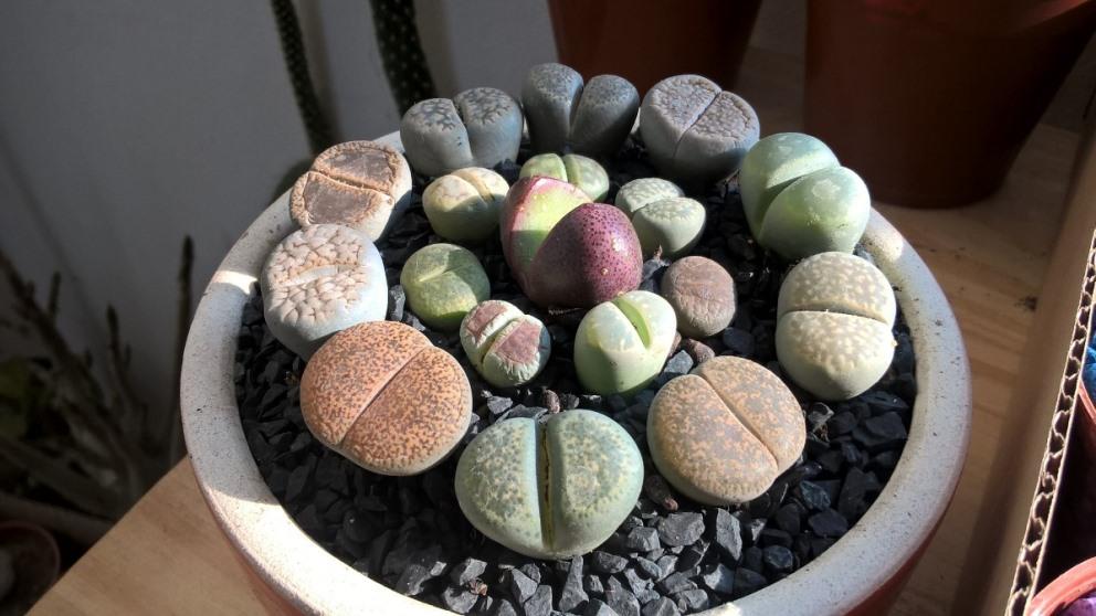 El cactus piedra es uno de los más bonitos