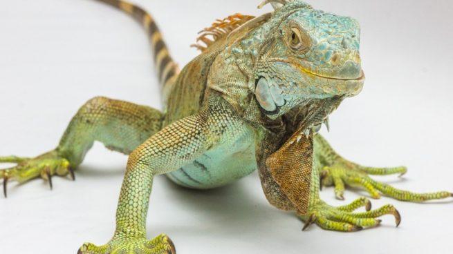 huevos iguana