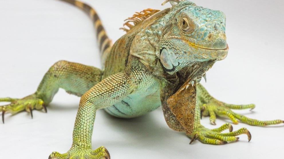 Los huevos iguana no son sencillos de conseguir en cautividad.