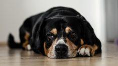 Los perros lo pasan muy mal cuando tienen diarrea