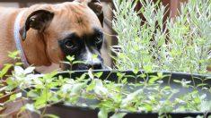 Evitar que un perro se coma las plantas es posible con unos cuantos trucos