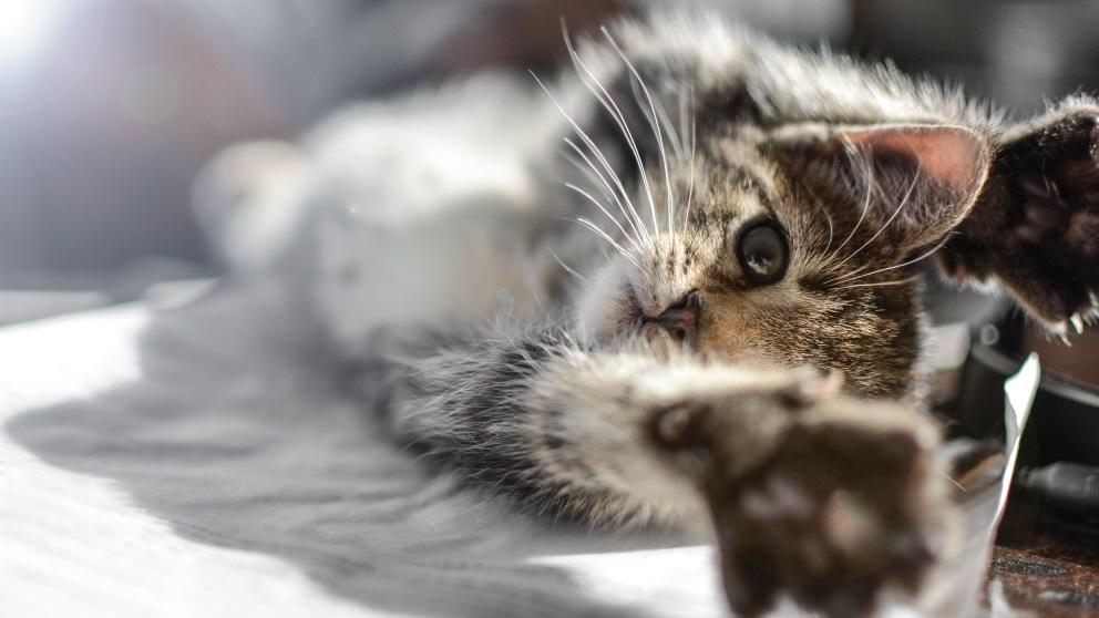 Cortar las uñas a un gato puede ser un desastre si no sabes cómo
