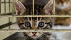 Guía de pasos para aquellos que deseen adoptar un gato