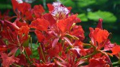 Las bellas flores de los flamboyanes.