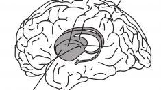 El hipocampo en nuestro cerebro.