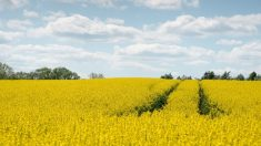 Campo de colza, tristemente famosa por el caso del aceite de colza.