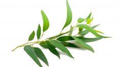 El eucalipto tiene muchos beneficios para la salud