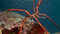 La araña de mar en su hábitat.