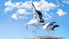 Las cigúeñas, protagonistas en la migración de aves en España.