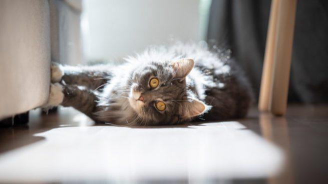 Cómo se puede adoptar un gato