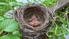 Conoce los tipos de nidos de aves