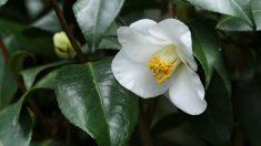 El jazmín es una flor con un aroma perfecto para ser perfume