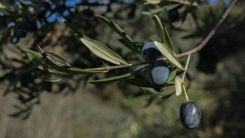 Aceituna negra (Foto: EP)
