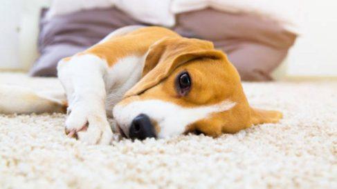 Qué debemos hacer para tratar la diarrea a un perro