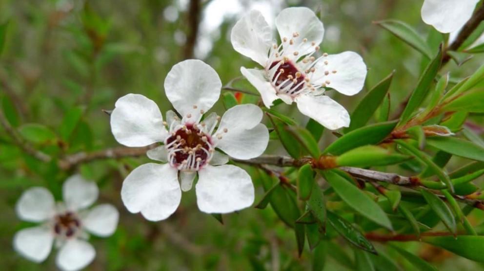 Hay diferentes maneras para usar el aceite del árbol de té