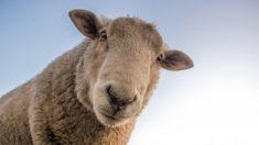 Facebook: Una mujer roba una oveja del belén de Zaragoza