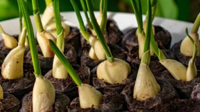 cultivar ajo en casa