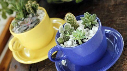 Pasos para sembrar cactus en tazas