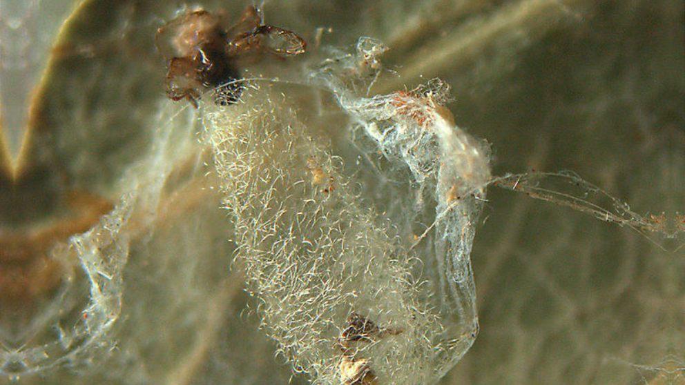Descubre la primera avispa con un ejército de arañas zombi a sus órdenes