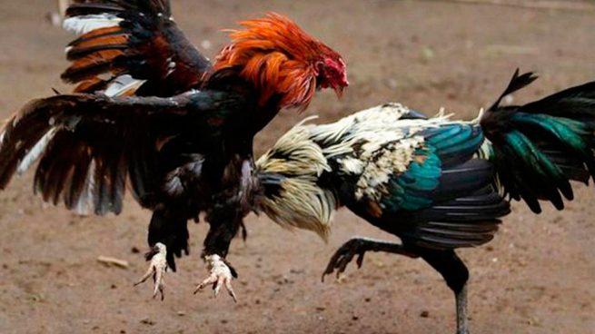 pelea-de-gallos-gerona