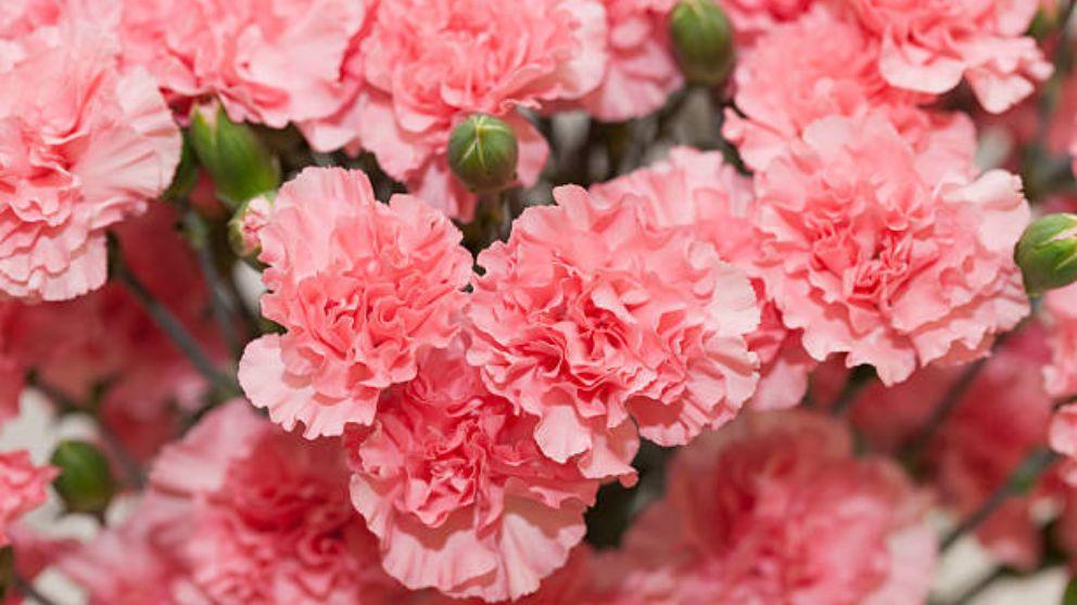 Cómo Plantar Claveles En Tu Jardín O En Una Maceta De Manera Fácil