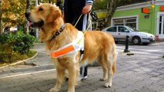Los perro guía son los más fieles y buenos compañeros que te puedes encontrar