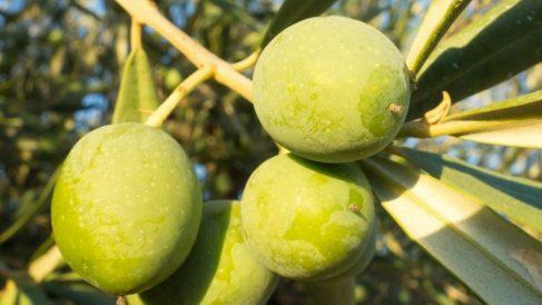 las aceitunas contienen ácido oleico que reduce el colesterol malo
