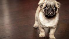 Los perros también pueden padecer cáncer.