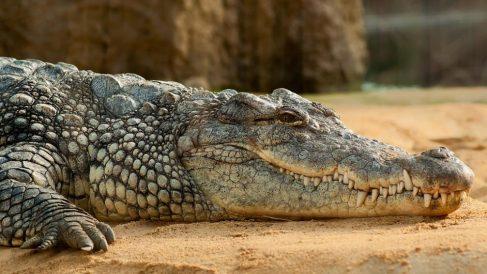 Los cocodrilos forman parte de los reptiles acuáticos