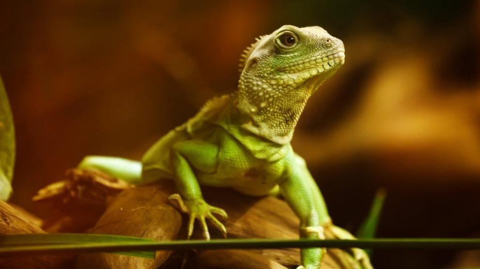 El lagarto, ¿un animal que sueña?