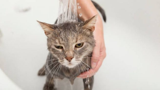 bañar un gato en casa