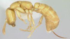 Conoce a la hormiga Drácula, el animal más rápido del mundo