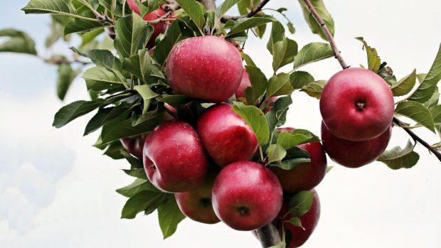 Rama de manzanas