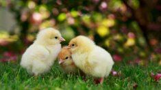 Aprende cómo cuidar pollitos en casa