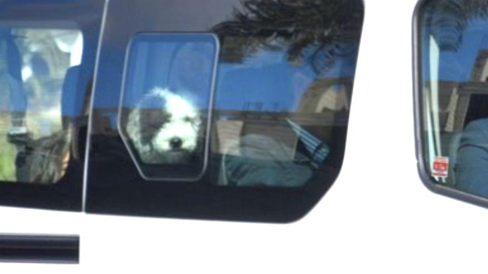 La perrita Turca se asoma por la ventana del furgón que traslada a la familia de Pedro Sánchez a La Mareta.