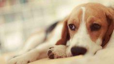 Los pasos para que sepas tratar la indigestión de tu perro