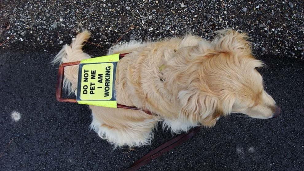 Aprende cómo ayudar en el adiestramiento de un perro guía mediante la acogida