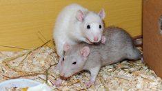 Descubierta la fórmula genética de la monogamia en animales