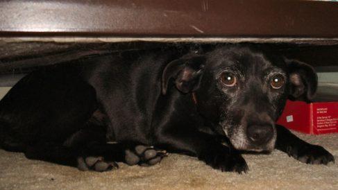 Descubre por qué los perros se esconden debajo de la cama