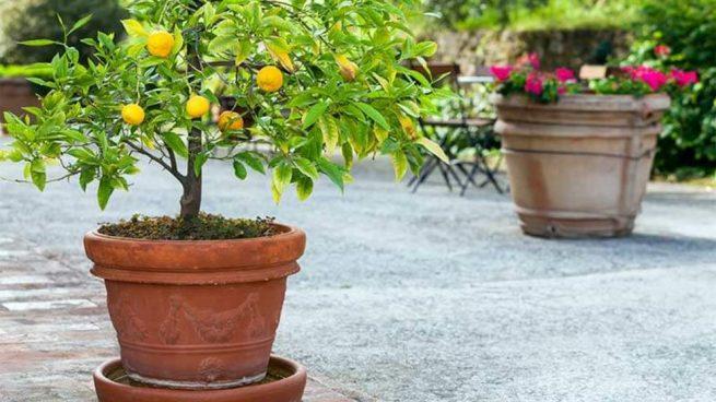 Cómo Cuidar El Naranjo Enano Paso A Paso Y De Forma Fácil