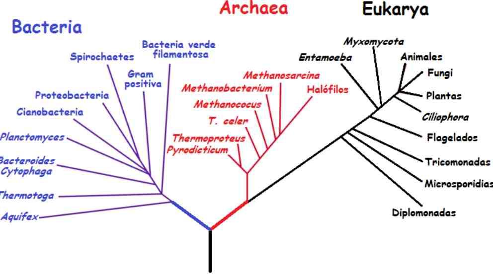 Ejemplo de árbol filogenético.